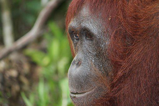 Animal, Nature, Portrait, Mammal, Wildlife, Orangutan