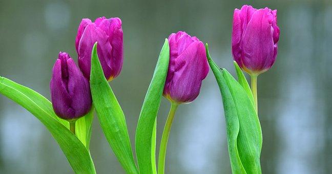 Flowers, Viola, Purple, Violet, Spring, Leaves, Green