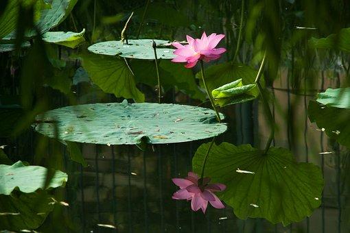 Nature, Flora, Flower, Leaf, Pool, Summer, Garden
