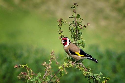 Nature, Animal World, Bird, Goldfinch, Stieglitz