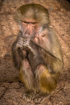 Baby, Baboon, Monkey, Look, Africa, Feelings