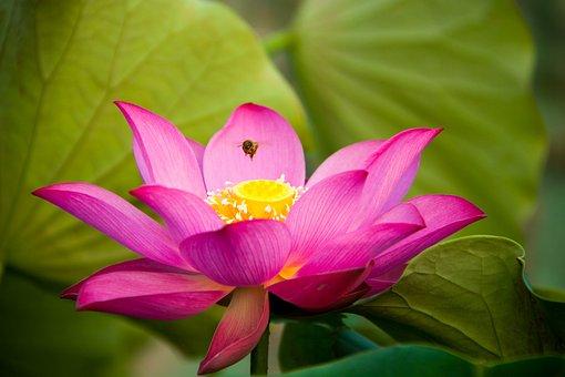 Lotus, Flora, Flower, Leaf, Aquatic, Pool, Garden