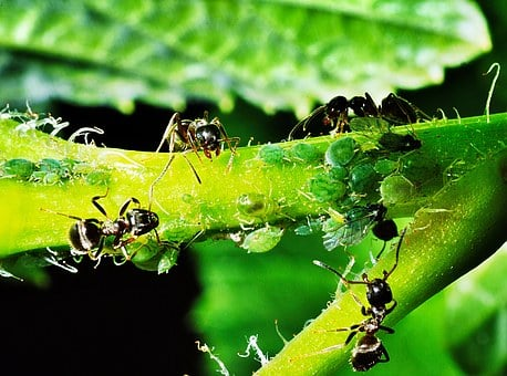 Aphids, Insects, Ants, Reproduction Of, Nature