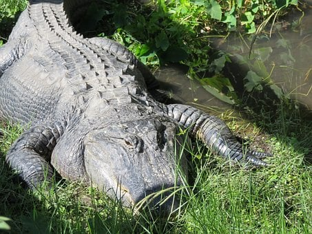 Sanford, Florida, Gator, Reptile, Zoo, Lake, Nature