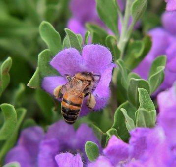 Bee, Honey Bee, Pollen, Pollinate, Pollination