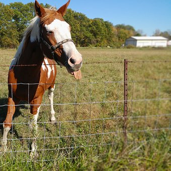 Horse, Funny, Tongue, Brown, Cute, Equestrian, Nature