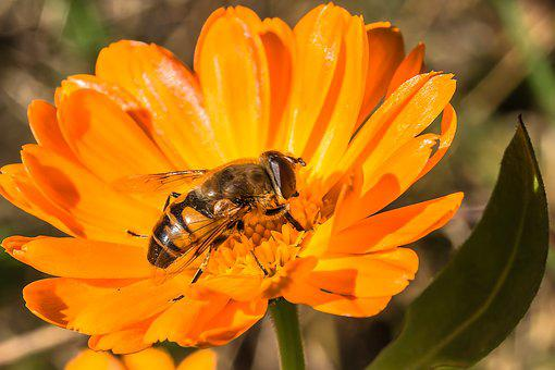 Hover Fly, Insect, Animal, Fly, Mist Bee