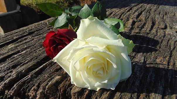 Roses, Red, White, Flower, Thorns, Rosebush, Leaf, Bud