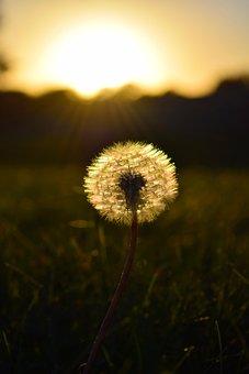 Dandelion, Weeds, Sunset, Seeds, Flower, Plant, Summer