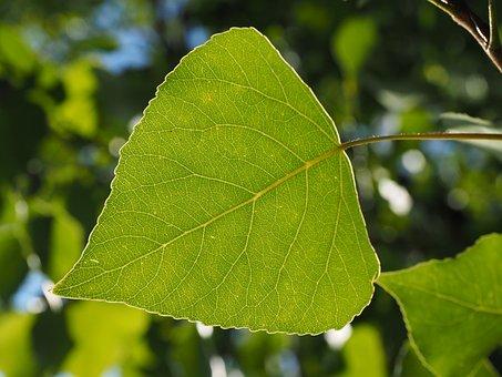 Leaf, Poplar Leaf, Leaf Veins, Tree, Green, Nature