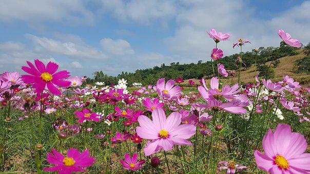 Flower, Bloom, Nature, Pink, Meadow, Cosmos, Plant