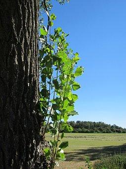 Populus X Canadensis, Poplar, Tree, Fresh, Sapling