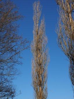 Pyramid Poplar, Poplar, Tree, Habitus, Oblong, Long