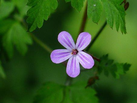 Ruprecht Herb, Blossom, Bloom, Blue, Violet, Small