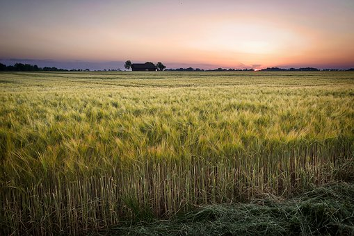 Field, Cereals, Agriculture, Wheat, Farm, Landscape