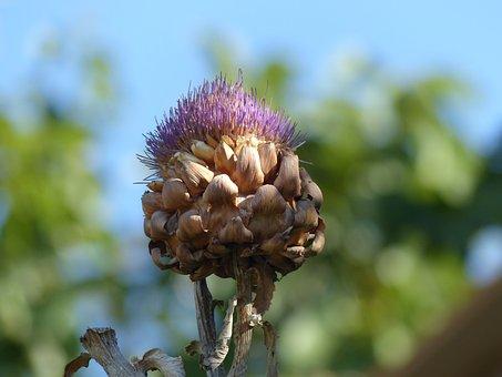 Nature, Plant, Summer, Leaf, Flower, Artichoke