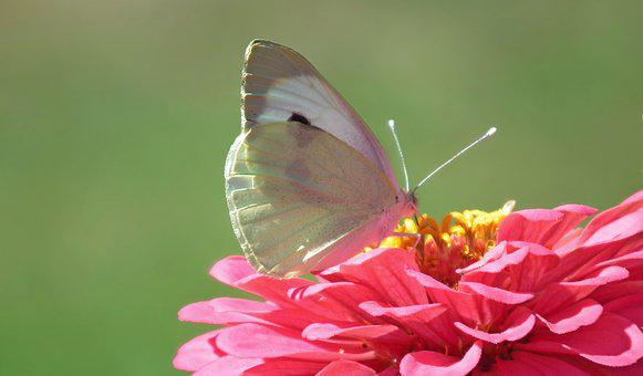 Nature, Insect, Butterfly Day, Bielinek, Flower, Zinnia