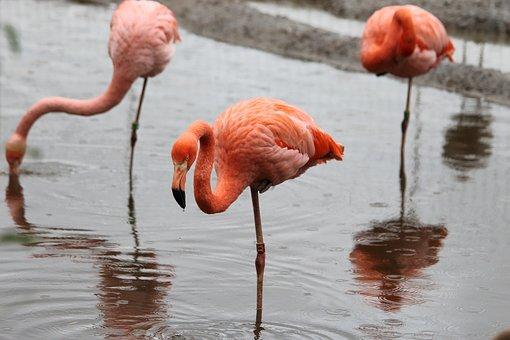 Bird, Flamingo, Nature, Water, Living Nature, Outdoors