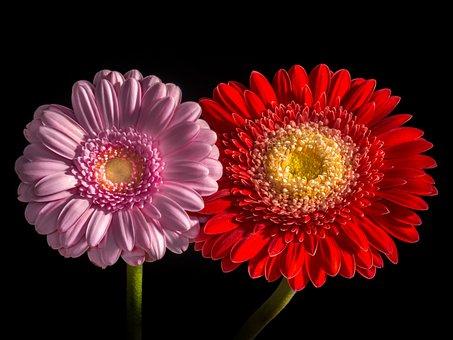 Flower, Plant, Nature, Bright, Flowers, Gerbera, Close