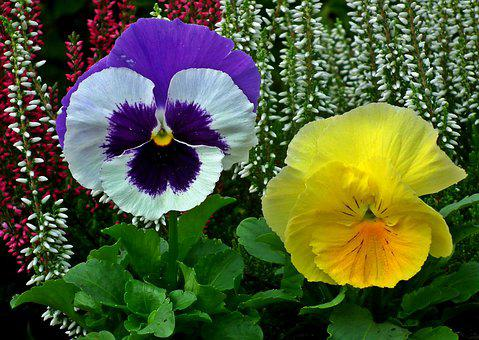 Flower, Pansies, Colorful, Plant, Nature, Garden