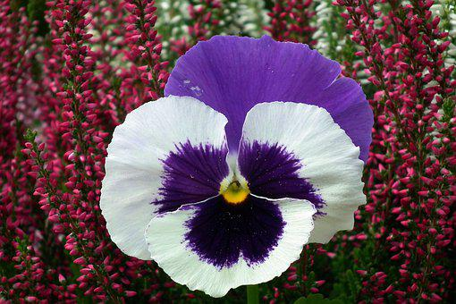 Flower, Pansy, Colored, Plant, Nature, Closeup, Garden