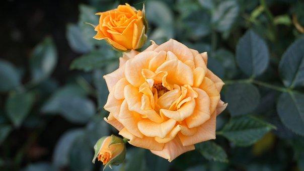 Flower, Rose, Leaf, Flora, Nature, Petal, Floral
