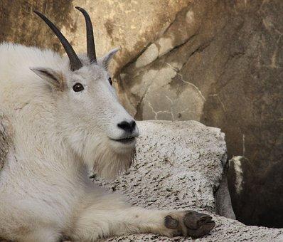 Goat, Mammal, Wildlife, Nature, Animal Mountain Goat