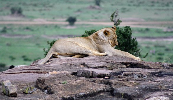 Nature, Wildlife, Animal, Wild, Lion, Africa, Kenya
