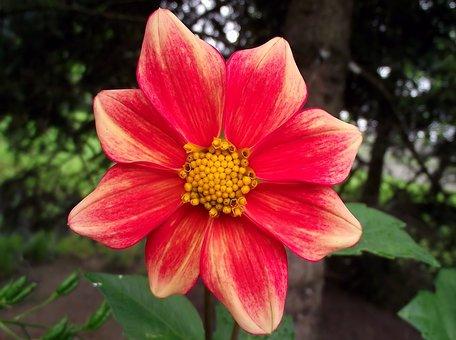 Nature, Flower, Dalia, Red, Plant, Garden, Summer