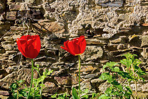 Nature, Plant, Outdoor, Sheet, Tulip, Red, Spring