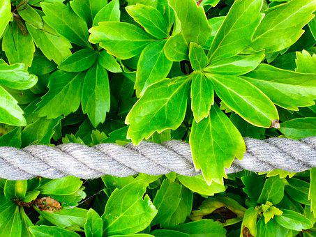 Leaf, Plant, Nature, Growth, Environment, Ivy, Rope