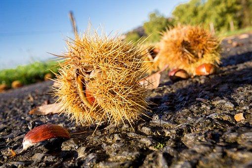 Nature, Outdoor, Chestnut, Autumn, Spines, Season
