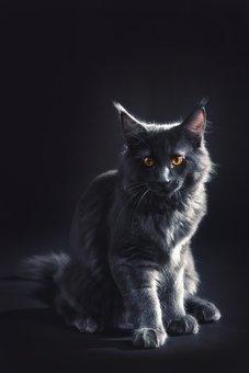 Tomcat, Cat, Kitten, Kitty, Gray, Black, Maine Coon
