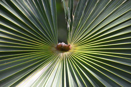 Palm, Tropical, Nature, Leaf, Plant, Exotic