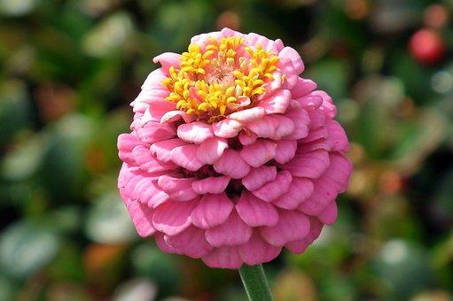 Flower, Zinnia, Pink, Plant, Nature, Garden, Petal