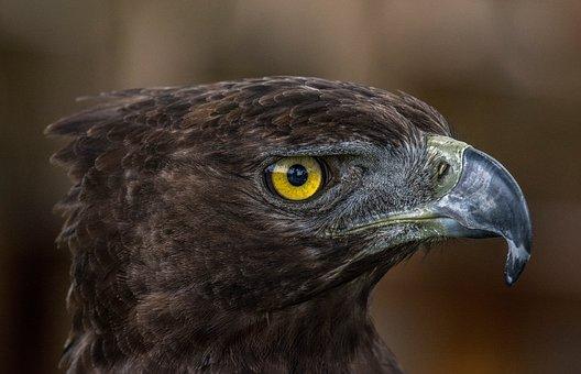 Bird Of Prey, Adler, Animal World, Bird