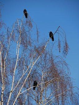 Bird, Sky, Nature, Tree, Winter Morning, Rook