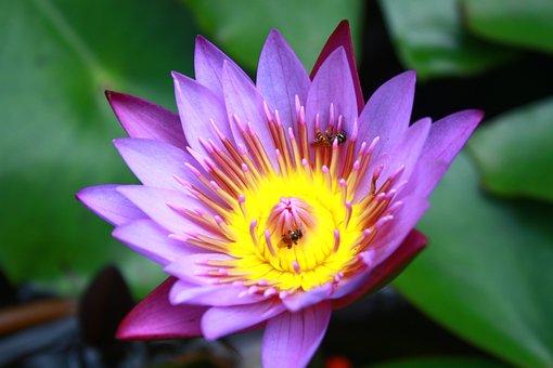 Flora, Flower, Nature, Leaf, Lotus, Closeup, Beautiful