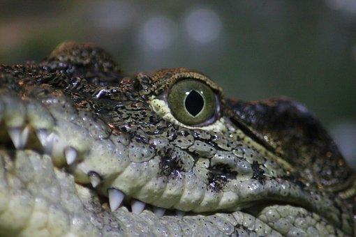 Reptile, Nature, Living Nature, Animals, Portrait, Wild