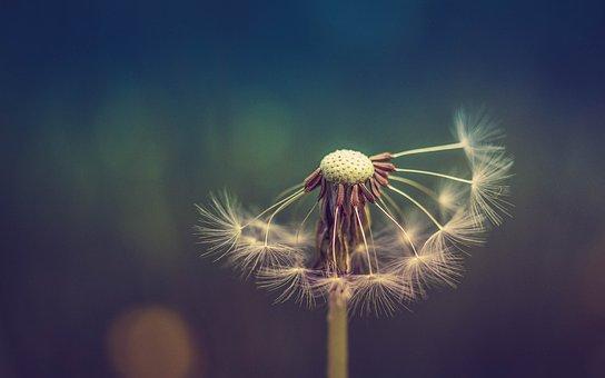 Dandelion, Nature, Flora, Summer, Outdoors, Growth