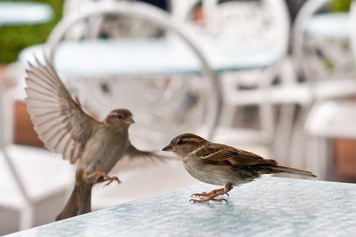 Sparrow, Table, Bird, Nature, Animal World, Animal