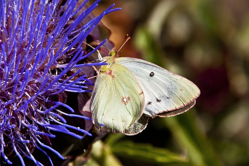 Nature, Insect, Butterfly, Flower, Outdoors, Artichoke