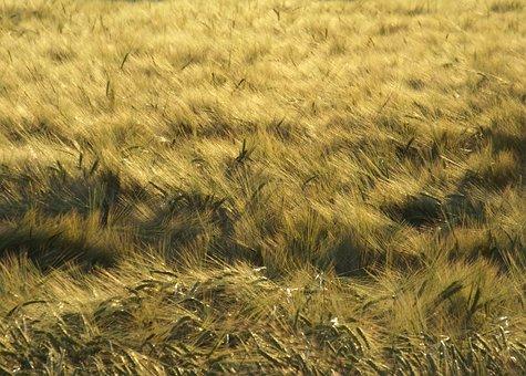 Golden, Nature, Growth, Field, Wheat