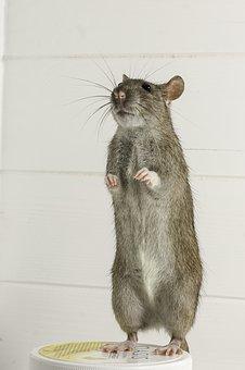 Rodent, Mammals, Rat, Mouse, Animals, Cute, Fur, Hair