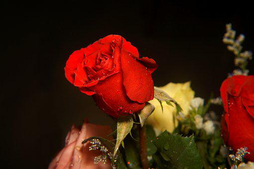 Roses, Love, Red Rose, Flower Buds, Drops Sượng