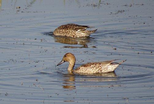 Pintail, Northern Pintail, Anas Acuta, Duck, Bird