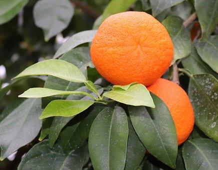 Oranges, Fruits, Orange Tree, Orange, Fruit, Food