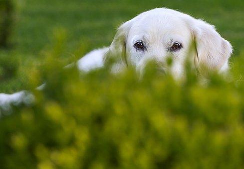 Grass, Dog, Cute, Meadow, Animal, Golden Retriever