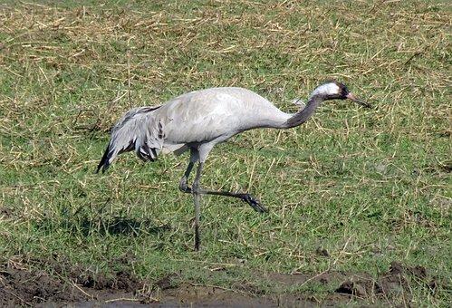 Common Crane, Grus Grus, Eurasian Crane, Bird, Gruidae