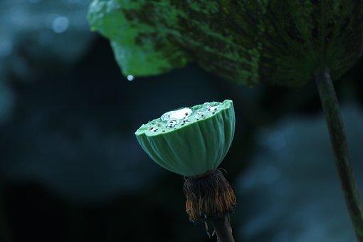 Lotus, Lotus Pond, Flower, Ii Sen, Throat, Lotus Doll